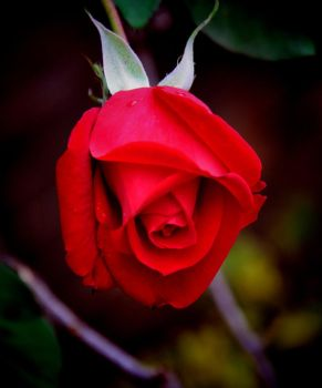 Last of the Rose 2011 by Tailgun2009