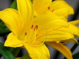 Bright Yellow Daylily by Kitteh-Pawz
