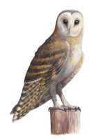 African Grass Owl by EWilloughby