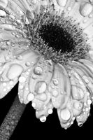 gerbera by CharmingPhotography