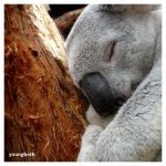Koala by youngbeth