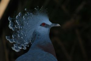 victoria crowned pigeon 5.2 by meihua-stock