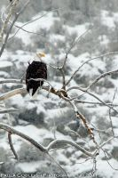 Bald Eagle in the snow by La-Vita-a-Bella