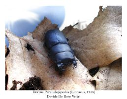 Dorcus Parallelepipedus 01 by OniBaka