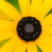 Yellow Daisy by roarbinson