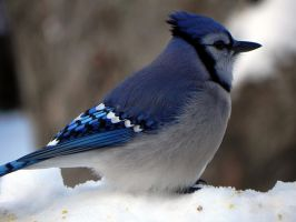 bluejay after snowstorm by Lou-in-Canada
