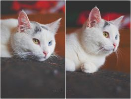 Winnie the Heterchromic Kitty II by MarthaTuma