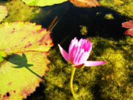 .Water Lily.. by siannajmj