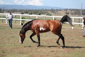 Pinto arab low neck High tail 1 by xxMysteryStockxx