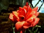 Red Rose 3 by Optimus-One