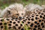Cheetah Cub 99-08-11 by Prince-Photography