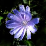 chicory by KmyGraphic