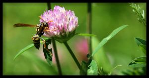 Wasp Pollinating by NOS2002