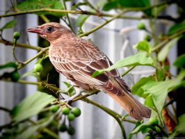 Australasian figbird by Mike-Kossi
