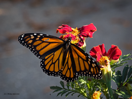 Monarch and marigolds by Mogrianne
