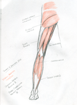 Musculature of the posterior and leg by Summitwulf