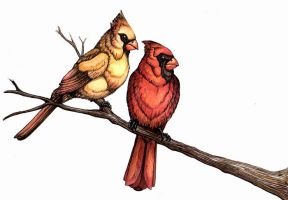 Cardinal pair by Feather-Collector