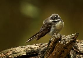 Grey fantail 2 by Dryad-8