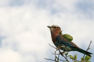 Lilac-breasted roller by ScurvySimon