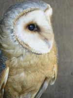 Barn Owl 01 by MelieMelusine