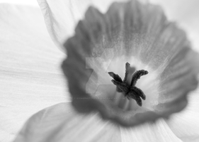 Daffodil X-Ray II by iconsPhotography