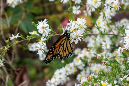 Monarch in October by MrDSir