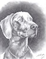 Weimaraner by Tigeress08