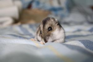 My cute Hamster I by B1GGzZ