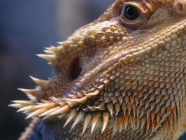 Bearded Dragon by ScottKinmartin