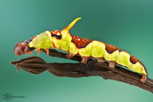Caterpillar from Colombia by ColinHuttonPhoto
