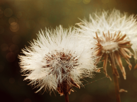 15. dandelions by littleconfusion