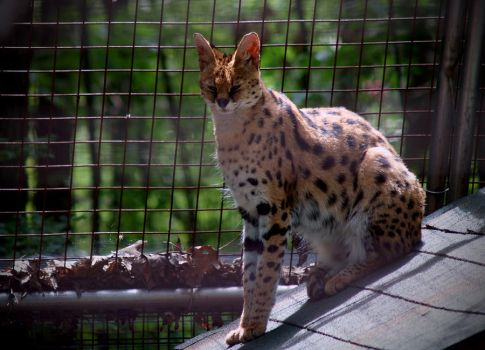 Serval. by purevintage