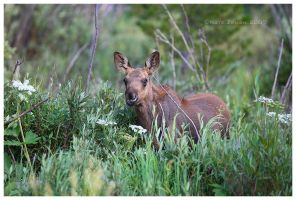 Moose Calf by Nate-Zeman