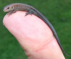 Little lizard by Gorgosaurus
