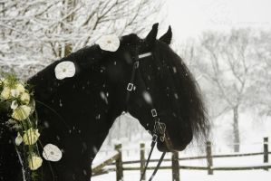 wedding friesian horse in the snow by Nexu4