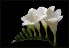 FREESIAS by THOM-B-FOTO