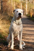 Freja the Dogo Argentino 2 by cazziis