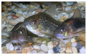 three cories by Corycat