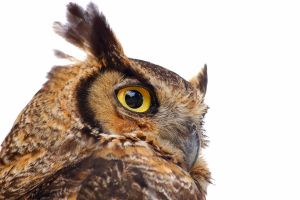 great horned owl 9375 by loveandtears