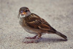Moineau - Sparrow by cendredelune