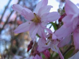 crabapple blossom 03 by CotyStock
