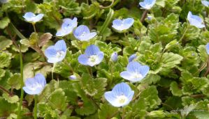 Many small blue flower by andi40
