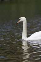 Swan on a River by cluster5020