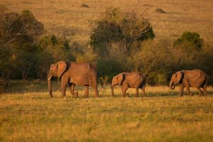 African Elephant 10 by catman-suha