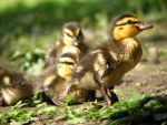 Ducklings by RoxanDB