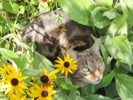 Hidden Between the Black Eyed Susans by Kitteh-Pawz