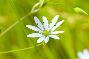 white flower 2 by jagerion