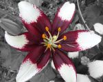 Maroon and White Lilly, Version.2 by ponygirl0316