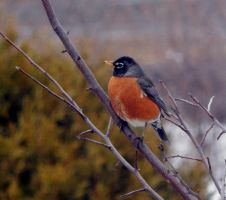 AMERICAN ROBIN by sharkbaits