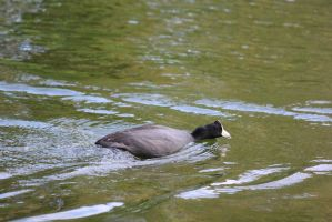 00255 - Swimming Coot by emstock